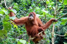 OrangUtans can be found in Indonesia and Malaysia, currently only in the rainforests of Borneo and Sumatra.Fruit is the most important Food for OrangUtans Primates, Mammals, Orangutan Monkey, Chimpanzee, Most Endangered Animals, Endangered Species, Halloween Facts, Halloween Candy, Monkey Pictures