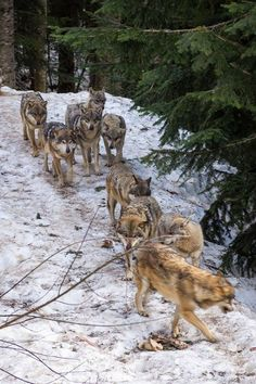 Wolf Pack in the snow