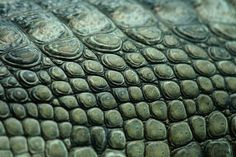 Crocodile. The thick green scutes on this crocodile make it look as though an eccentric tailor has carefully covered it in buttons. While the animal is not generally known for its good looks, crocodile skin has – for better or worse – been recognized for its beauty, and is still used in many countries to manufacture purses and shoes.