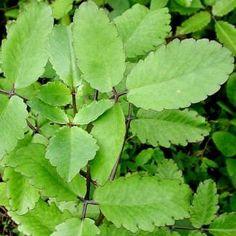 Kalanchoe pinnata (Lam.) Pers