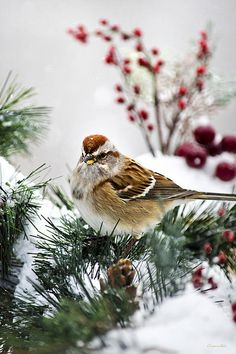 American Tree Sparrow by Christina Rollo © www.rollosphotos.com. Close-up of a beautiful American Tree Sparrow (Spizella arborea) at rest, with holiday decorations in the snow.