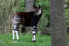 OKAPI (OKAPIA JOHNSTONI) from Dem. Rep. of Congo ~  The okapi, the giraffe's closest living relative, is like a shorter, stripier version of its cousin. Okapis have dwindled to the lower hundreds in recent years, due to poaching and armed conflict in the DRC. The okapi's notorious skittishness has earned it comparison to the mythical unicorn, and rightfully so: The entire species managed to go unphotographed in the wild until 2008.