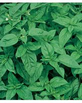 Basil, Sweet Organic