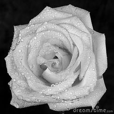 A white rose with dew on the petals.