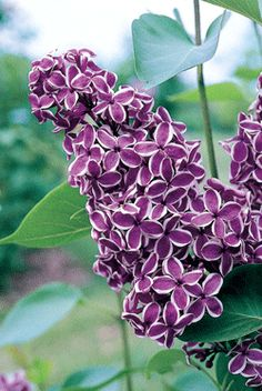 "Metformin is derived from the French lilac plant, Galega officinalis. According to this report in the journal Practical Diabetes, it is ""reputed to be the most widely prescribed agent in the treatment of diabetes."" -----    Illustration:  bicolor French Lilac 'Sensation'"