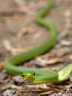 Rough Green Snake. The most adorable of all snakes.