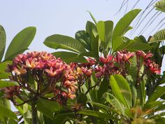 This Plumeria rubra tree was photographed at Pune, India