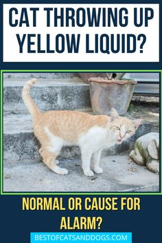 Cat Throwing Up Yellow Liquid? If your cat is vomiting foam, it's likely to be bile. This is usually yellow or greenish in colour. It's often because...Read more here! #CatVomiting #CatHealth #CatFood #Cats Cat Throwing Up, Cat Health Care, Cat Care Tips, Healthy Pets, Happy Animals, Great Pictures, Cat Food, Cats And Kittens, Cat Lovers