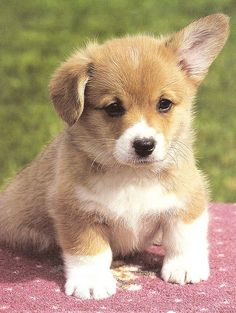 The floppy ear corgi pup Cute Corgi, Corgi Dog, Cute Puppies, Dogs And Puppies, Dog Cat, Corgi Welsh, Corgi Pembroke, Beagle Mix, Animals And Pets