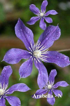 Waldrebe the President violette été fleurs de Clématite Monte plante en pot
