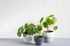 Chinese money plant (or Pilea)
