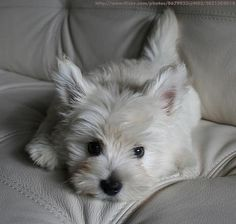 Westie. Too cute for words. These little white Westies just tug at my heart. Sweetest face doesn't cover it.