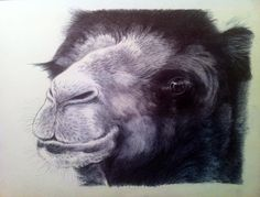 My latest ballpoint pen drawing of a Camel.