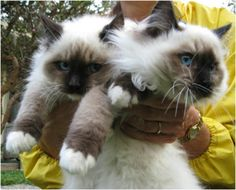 A handful of fluf-Ragdolls