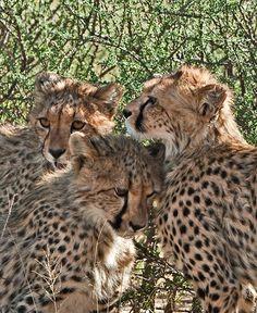 Cheetah Cubs by Kalahari Mick