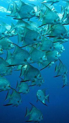 "chasingrainbowsforever: "" School of Fish ~ Ambergris Cave, Belize """