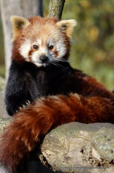 Red Panda Awesomeness