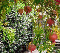 Pomagranates on Tree