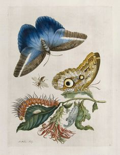 Maria Sibylla Merian - Cardinal's Guard (Caligo Butterfly, Wasp, and Acanthaceae) - From Metamorphasibus Insectorum Surinamensis Illustration Botanique, Botanical Illustration, Butterfly Illustration, Science Illustration, Watercolor Leaves, Watercolor Pattern, Sibylla Merian, Bridal Shower Flowers, Butterfly Images