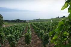 vue lac leman domaine porta aran villette Aran, Vineyard, Outdoor, Lake Geneva, Photography, Outdoors, Vine Yard, Vineyard Vines, Outdoor Games