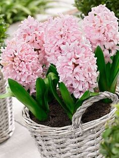How to Plant Potted Flowers Outdoors in the Soil : Garden Space – Top Soop Hyacinth Flowers, Bulb Flowers, Daffodils, Hyacinth Plant, Blue Hyacinth, Flower Seeds, Flower Pots, Spring Bulbs, Pink Garden
