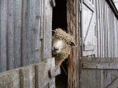 Sheep Stare