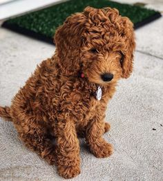 The final All Puppies Edition of DoodleTales features Bali, an Mini Goldendoodle from Utah! Cute Little Puppies, Cute Dogs And Puppies, Cute Little Animals, Baby Dogs, Doggies, Mini Puppies, Pet Dogs, Mini Poodle Puppy, Toy Poodle Puppies