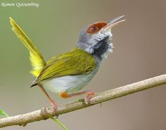 Philippine Tailorbird (Orthotomus castaneiceps)  Tailorbirds get their name from the way their nest is constructed. The edges of a large leaf are pierced and sewn together with plant fibre or spider's web to make a cradle in which the actual grass nest is built. SYLVIIDAE.