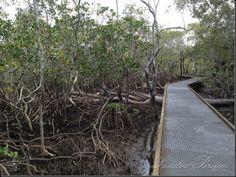 walkway over mangroves,Gold Coast area,QLD