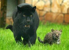 a melanistic jaguar & her cub
