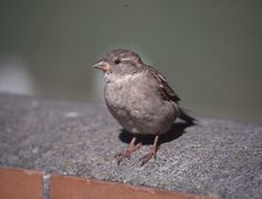 House Sparrow, female, sitting on wall