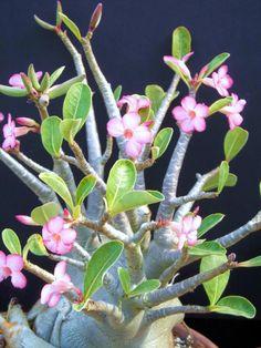 Adenium Arabicum Shada Pachycaul Desert Rose Bonsai Cactus caudex Seed 5 Seeds | eBay