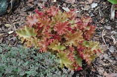 Click to view full-size photo of Marmalade Coral Bells (Heuchera 'Marmalade') at Landscape Garden Centers
