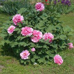 Paeonia suffruticosa - Deelish Garden Centre,Ireland Deelish Garden Centre,Ireland