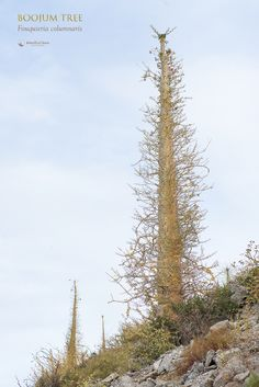 Boojum Tree (Fouquieria columnaris) in Sonora Desert, Sonora Mexico. April 2017