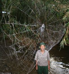 A park ranger near standing below one of the giant webs, some of which were up to 80 feet wide...