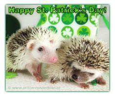 Happy St Patricks Day #hedgehogs