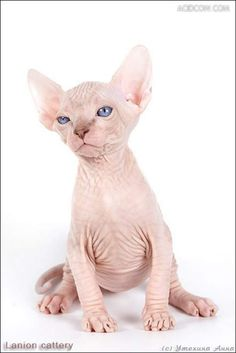 people think sphinx cats are ugly....I think they are awesome!