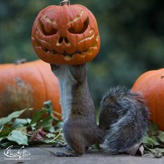 Squirrel tries to steal a carved pumpkin from photographers yard. Too funny!