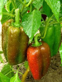 Vegetable Gardening for Beginners: Advice on plot size, which vegetables to grow, and other vegetable garden planning tips from The Old Farmer's Almanac.