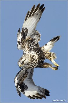 **Rough-legged Hawk by Earl Reinink..