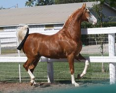 Flaxen Liver Chestnut (Rare colored horses! POST AWAY ...