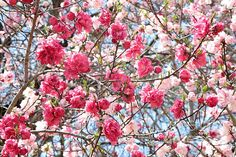 """""""Spring Pink"""" blossoms, photo taken during the Cherry Blossom Festival in Macon, Georgia.  carol-groenen.pixels.com  #cherryblossoms #blossomsart #springart #springcards #cherryblossomart #springartprints #carolgroenen #nature #pinkblossoms #beautifulblossoms #spring #springtime #springbranches #upliftingart #waitingroomart #beautifulspringday #cherryblossomtime"""