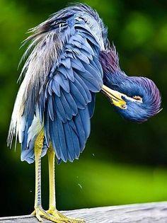 tri-colored heron - Pixdaus