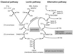 complement activation are shown. Eventually, all three pathways lead to the formation of C3 convertases (C4b2b represents the classical/lectin pathway C3 convertase, and C3bBb the alternative pathway C3 convertase), which activate the central component C3. The C3b fragment can bind to the existing convertases and thus form the C5 convertases of the classical/lectin pathway (C4b2b3b) or the alternative pathway (C3bBbC3b). The latter are essential for the activation of the common terminal…