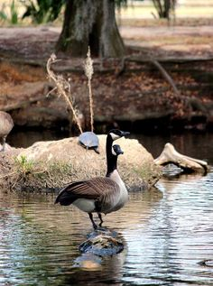 """""""Two Geese Standing on a Log"""" by Beth Vincent Photography"""