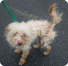 Oak Ridge, NJ - Poodle (Toy or Tea Cup)/Yorkie, Yorkshire Terrier Mix. Meet Lambchop, a dog for adoption. http://www.adoptapet.com/pet/13112315-oak-ridge-new-jersey-poodle-toy-or-tea-cup-mix