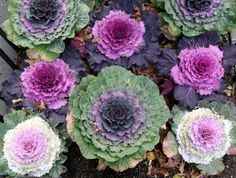 A potager is a sort of cottage garden where the main ingredients are vegetables rather Purple Mums, Purple Cabbage, Cabbage Roses, Garden Yard Ideas, Garden Spaces, Garden Projects, Kale Plant, Cabbage Plant, Nagoya