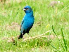 natty little bird in a blue velvet suit   Flickr - Photo Sharing!
