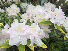kiraz çiçekleri High Park Toronto